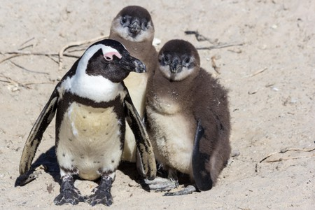African Penguins in South Africa