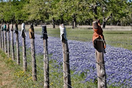 Blue Bonnet near Fredericksburg, Texas
