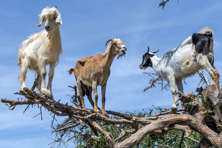Three Happy Goats on the Argan Tree, Morocco, Northern Africa