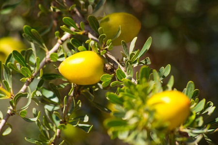 Argan tree with yellow fruits