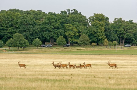 A herd of deer cross a field in Richmond Park while cars drive by in the background. Image shot 09/2011. Exact date unknown.