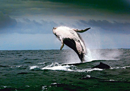 A whale breaches off the coast NSW