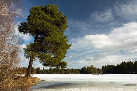 Big pine tree over the frozen lake Lianvatnet in Lian close to Bymarka, Trondheim, Norway.