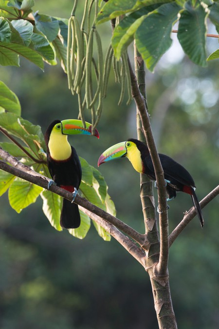 Keel-billed Toucans (Ramphastus sulfuratos) in a tree