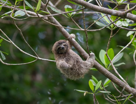 Pygmy Three-toed Sloth (Bradypus pygmaeus) four month old baby