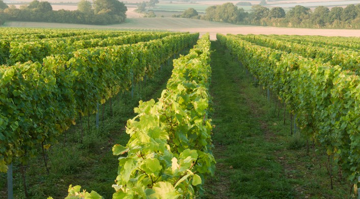 Vineyard near Petworth, West Sussex, UK. September.