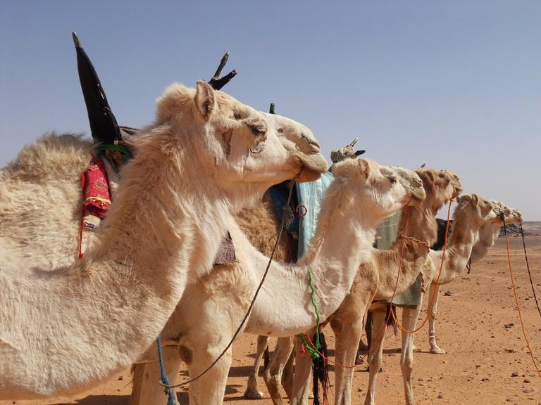 Spotlight on Camel Racing in Jeeva | © wbwolfgang/Pixabay