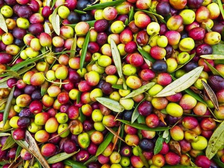 Olive Harvest | ©pixabay