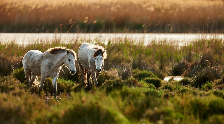 Two young white of Camargue horses roam free © ArCaLu / Shutterstock