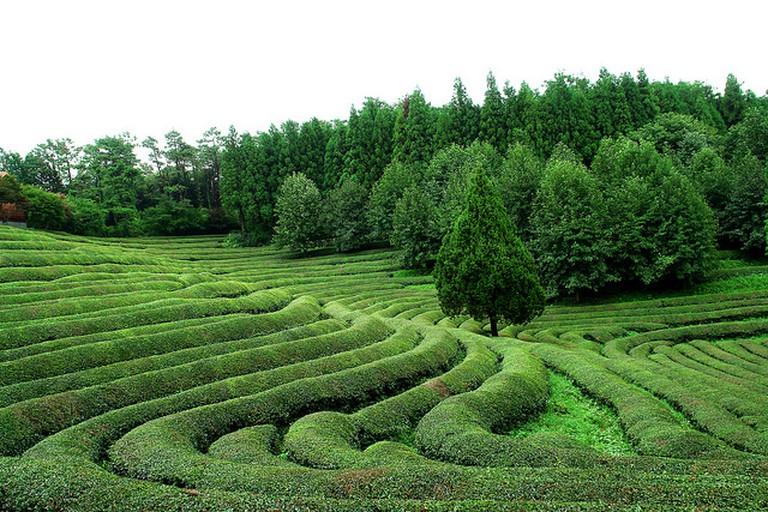 Boseong Yeşil Çay Tarlaları   © 영철 이 / Flickr
