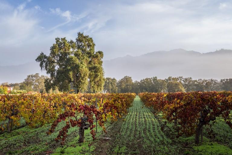 Vineyard in Calistoga California