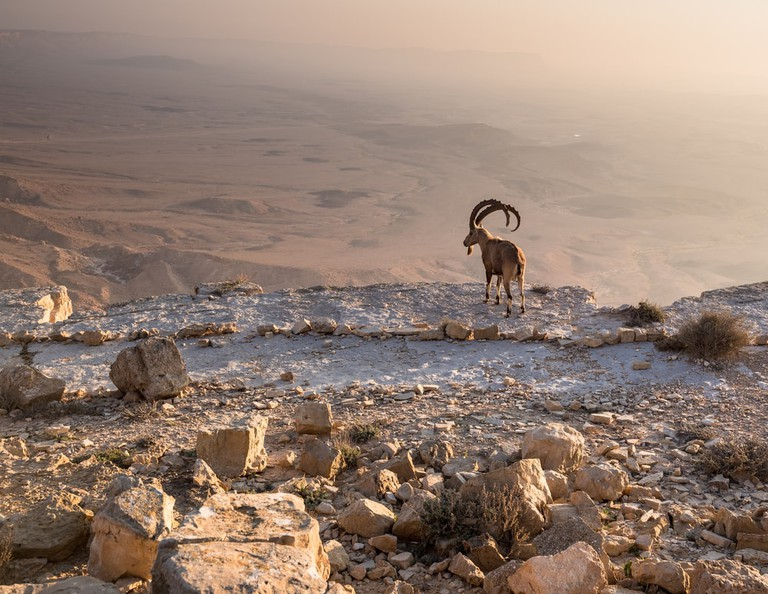Mountain Goat overlooks the Ramon crater, Israel | © MoLarjung/Shutterstock