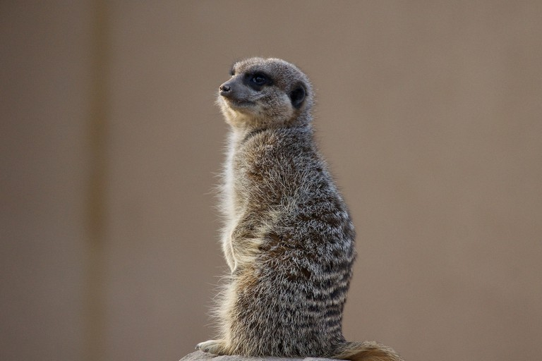 Meerkat – London Zoo