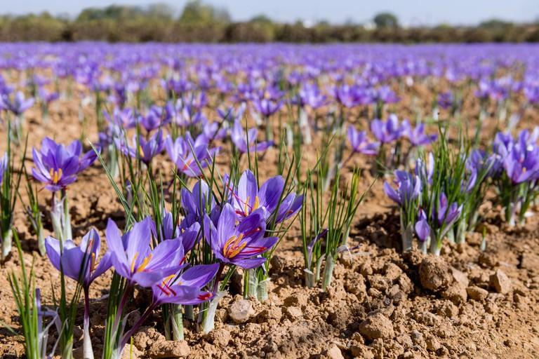 Field of saffron | © Fresnel/Shutterstock