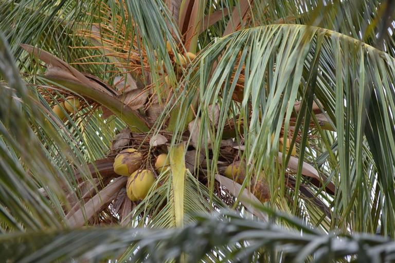 Coconut | © Pandian1974/Shutterstock