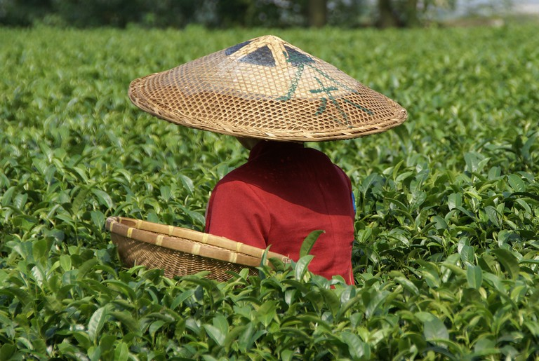 Tea picker at Guilin Tea Institute © putneymark/Flickr