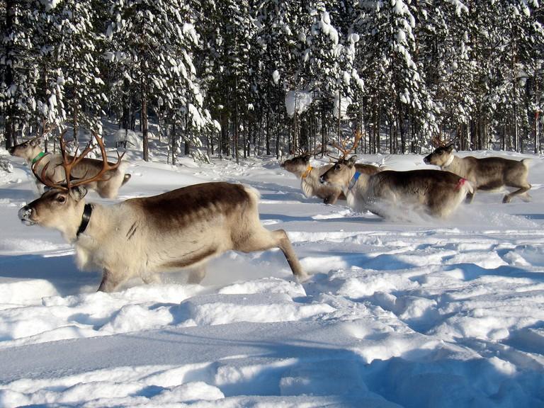 Reindeer Herd, Lapland © Heather Sunderland/Flickr