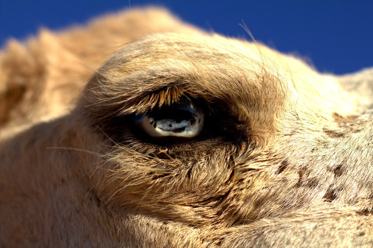 Camel, outskirts of Marrakech | Courtesy of Shawna Burhans