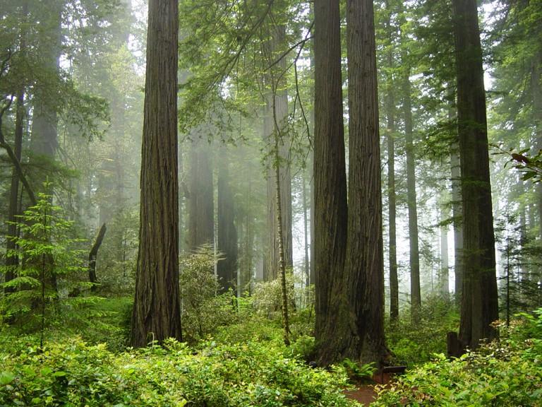 Redwood National Forest   © Michael Schweppe/Flickr