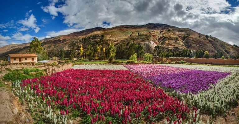 Field of flowers in the Andes of Tarma Peru ©Christian Vinces / Shutterstock