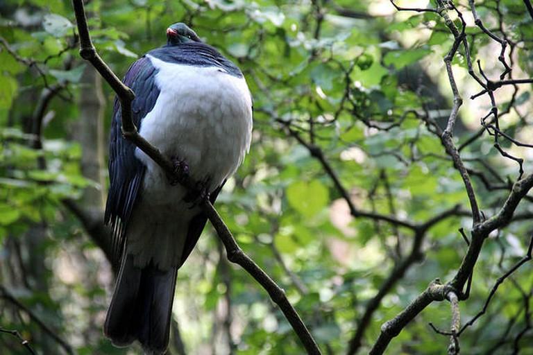 Photo of a Native New Zealand Wood Pigeon (kereru) at Zealandia   © Gabriel Pollard/flickr