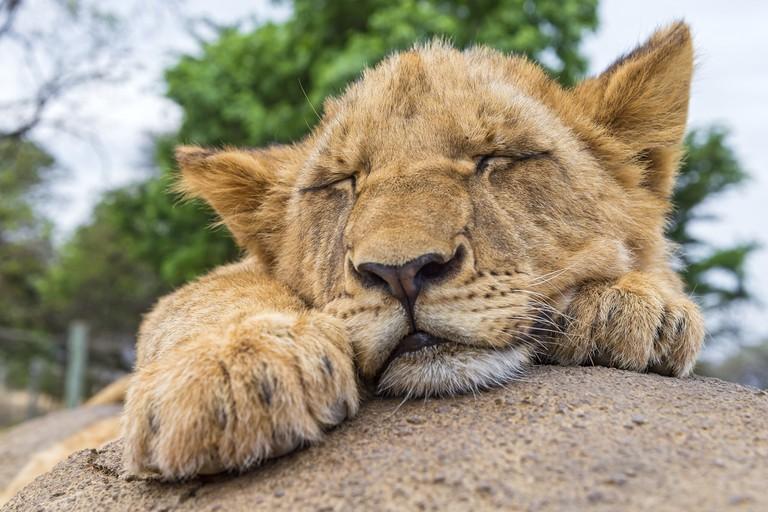 Get some rest   © Tambako the Jaguar/Flickr