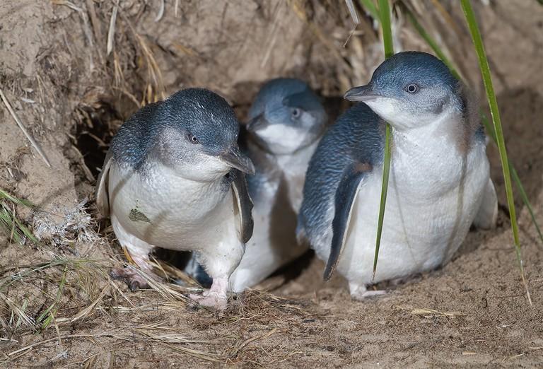Penguin Parade | © JJ Harrison/WikiCommons