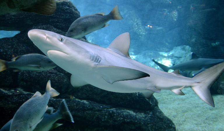 A blacktip shark in uShaka Marine World | © Amada44/WikiCommons