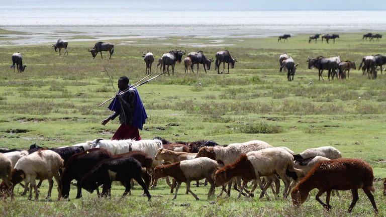 the Masai Morani kept the domestic animals around Ngorongoro Conservation Area... Photo By Juma Mudimi
