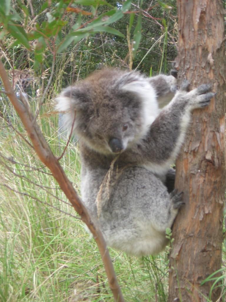 Koala |© Alex Hallatt/Flickr