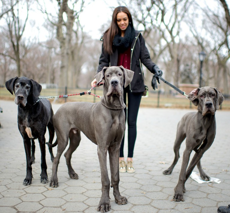 Bamm-Bamm, Homer and Marge, Great Danes. Excerpted from The Dogist by Elias Weiss Friedman (Artisan Books). Copyright © 2015. Photographs by The Dogist, LLC.