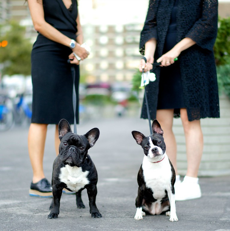 Mario and Gina, French Bulldog and Boston Terrier.Excerpted from The Dogist by Elias Weiss Friedman (Artisan Books). Copyright © 2015. Photographs by The Dogist, LLC.
