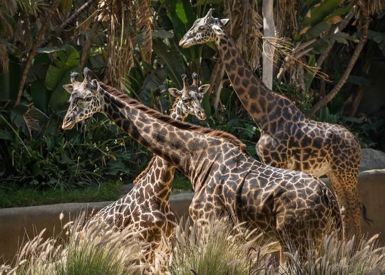 Los Angeles Zoo giraffes © Jamie Pham