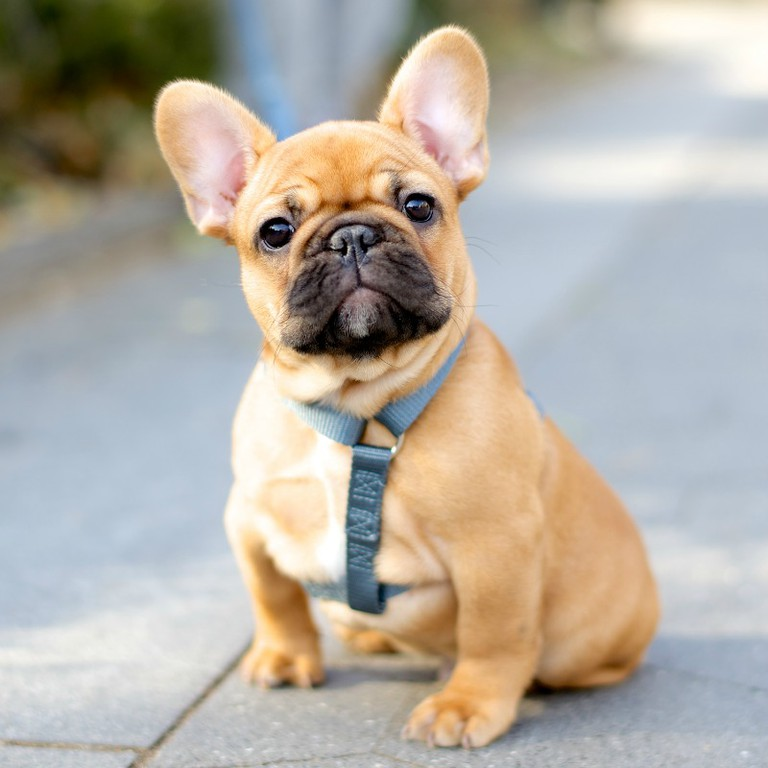 Theodore James Franco Gatsby, French Bulldog, 2 months old. Excerpted from The Dogist by Elias Weiss Friedman (Artisan Books). Copyright © 2015. Photographs by The Dogist, LLC.