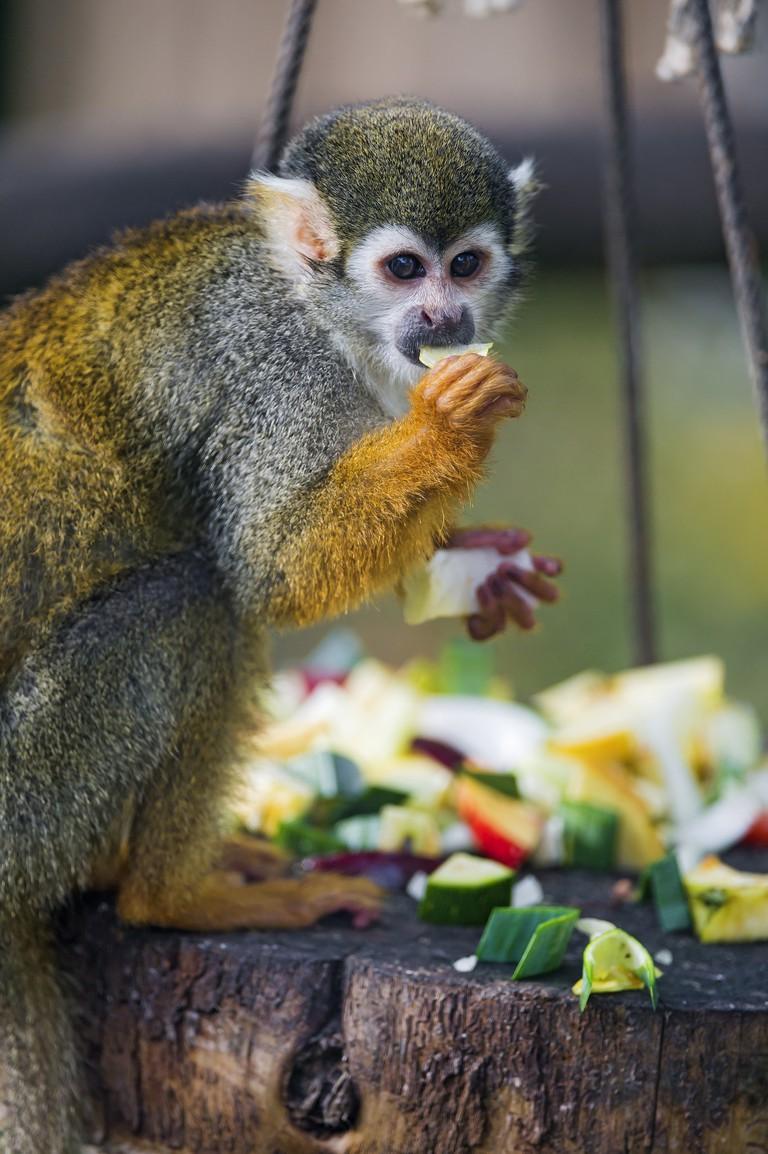 Monkey eating fruit   ©Tambako The Jaguar/Flickr