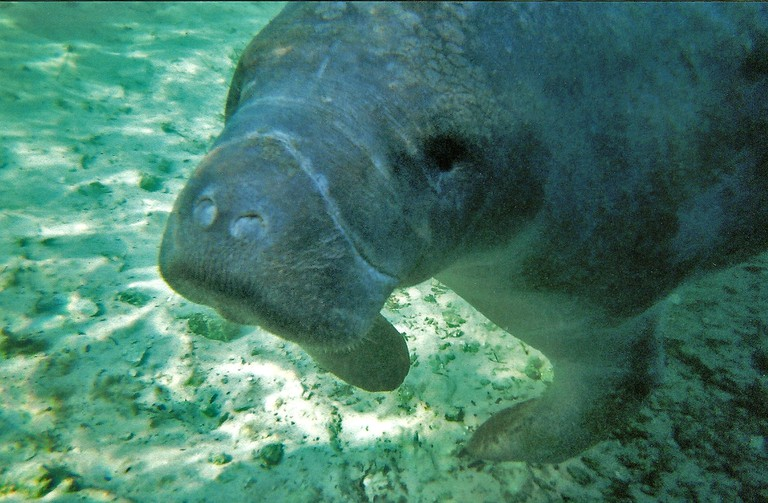 Manatee in Crystal River | ©Andy/Flickr