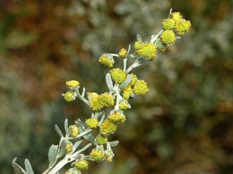 Artemisia Absinthium   © Ettore Balocchi / Flickr
