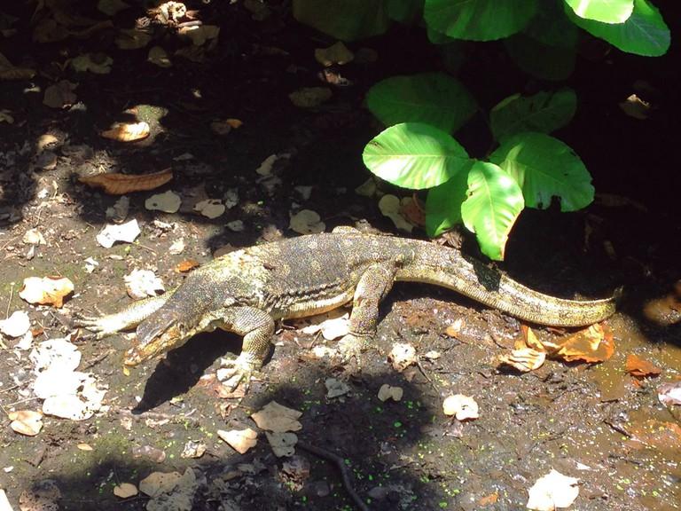 The mighty monitor lizard © Andrew Darwitan