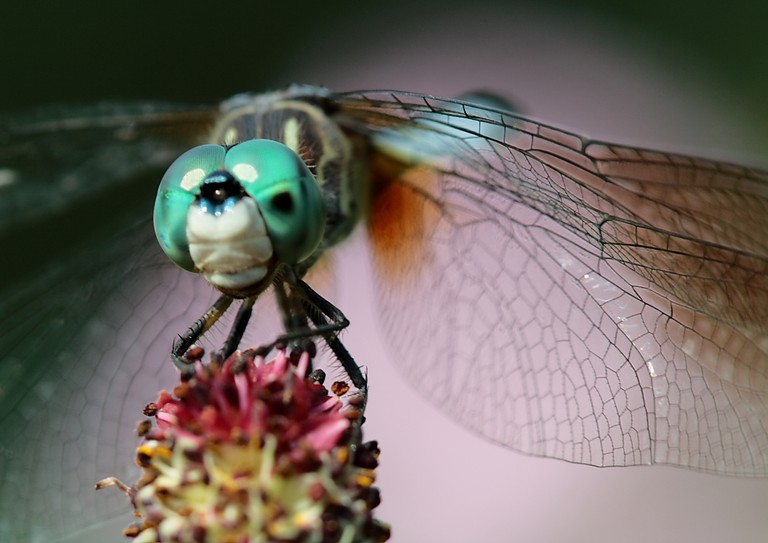 Dragonfly | © Paul Stein/Flickr