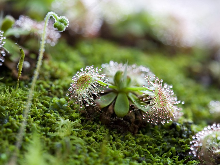 Sundew at the Botanical Garden, Padua | © Umberto Salvagnin/Flickr