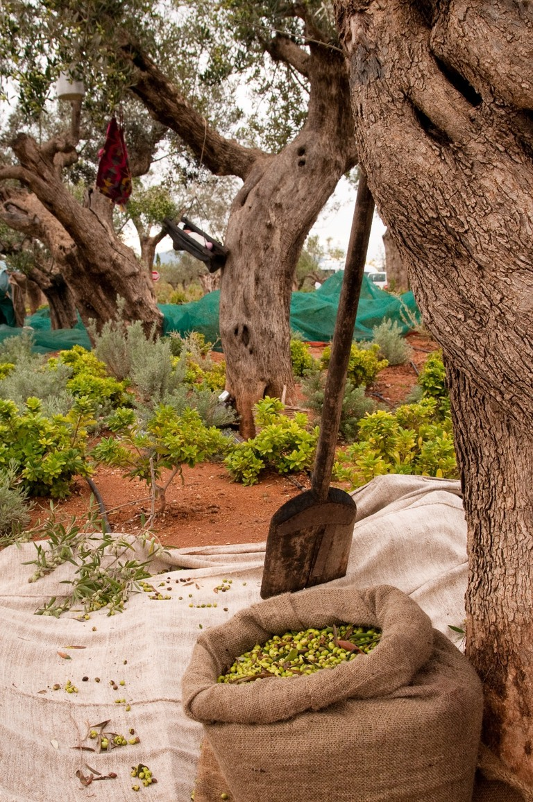 The resort makes its own olive oil © Costa Navarino