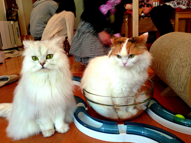 Japan Cat Cafe | © MsSaraKelly/Flickr