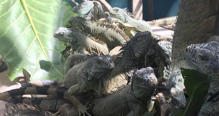 Iguanas   Courtesy of Michelle Razavi