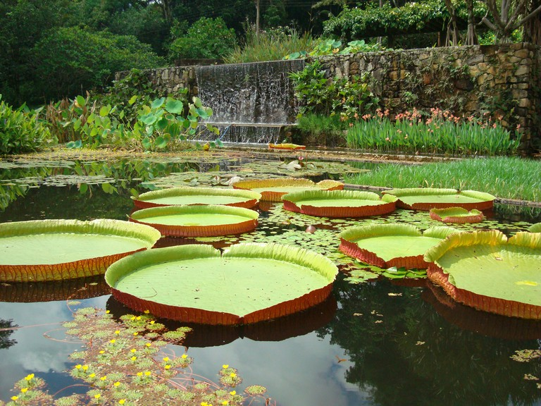 Victoria amazonica water lilies, garden of the Fazenda Vargem Grande, Clemente Gomes residence, Areias, designed by Roberto Burle Marx, 1979 | © Burle Marx Landscape Design Studio, Rio de Janeiro. Reproduced with permission. All rights reserved.