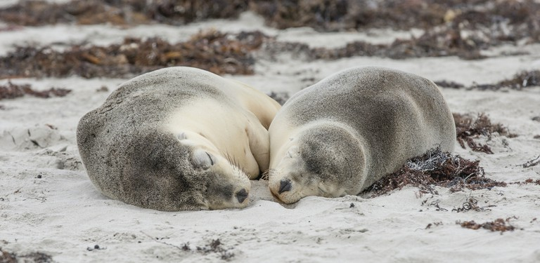 Seal Bay, Kangaroo Island, SA   Courtesy of Tourism Australia © Greg Snell