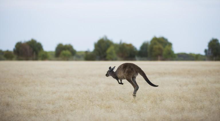 Wallaby on Kangaroo Island   Courtesy of Tourism Australia © Greg Snell