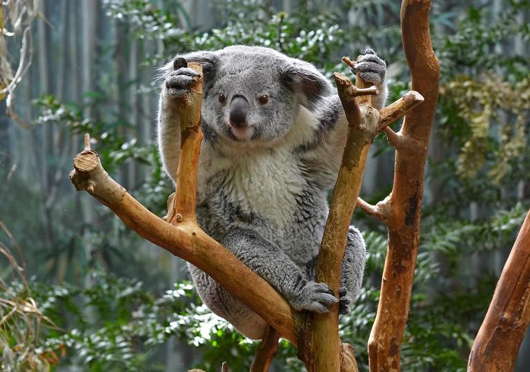 Koala   © LilyRose97 / Flickr