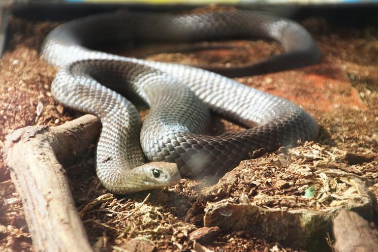 Eastern brown snake   © Takver / Flickr