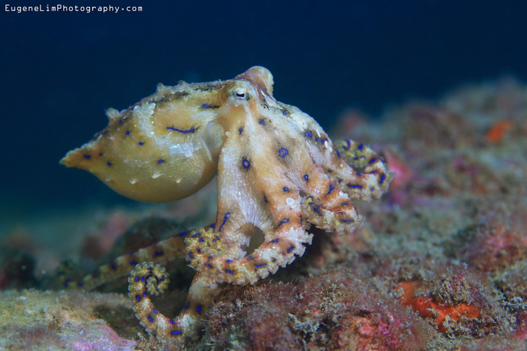 Blue-ringed Octopus   © Eugene Lim / Flickr