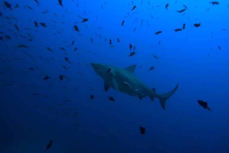 Bull Shark | © Sylke Rohrlach / Flickr